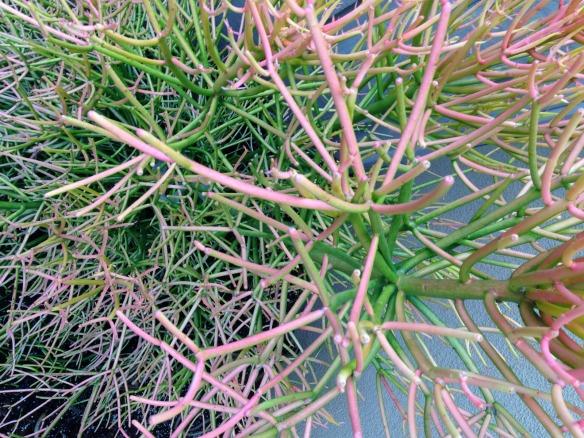 sticky cacti